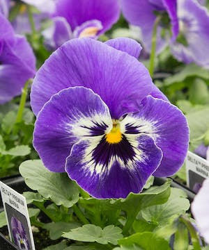 A gorgeous blue/purple pansy with a white and deep purple eye.