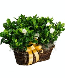 Double Gardenia Basket