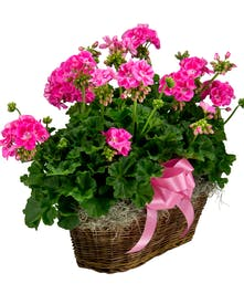 Double Geranium Basket