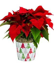 Pixie Poinsettia in a Ceramic Holiday Pot
