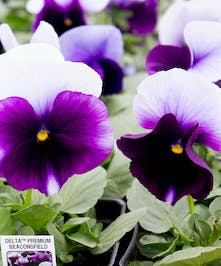 A vibrant vareity featuring  stunning purple and white blooms.