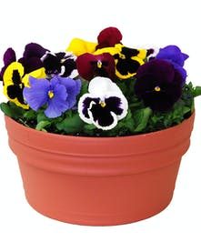 Smiling Pansies in a Decorative Planter