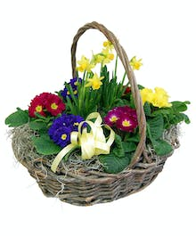 6 Primroses in a Basket with a Tete-a-tete