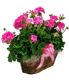 Double Geranium Basket