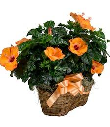 Double Hibiscus Basket