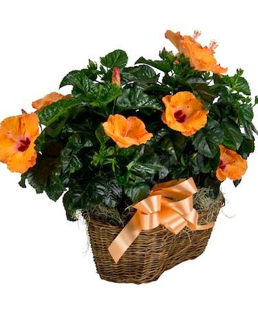 Double Hibiscus Basket Summer Plants Radebaugh Florist And