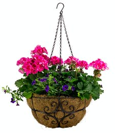 Geraniums and Annuals in Wrought Iron Hanging Basket